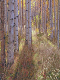 Grove of Aspen Trees at Sunset