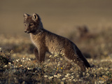 An Arctic Fox Pup (Alopex Lagopus) on the Canadian Tundra in Summer