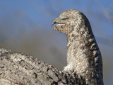 Portrait of a Great Potoo  Nyctibius Grandis