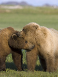 Grizzly Bear (Ursus Arctos Horribilis) Pair Courting  Katmai Nat&#39;l Park  Alaska