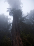 Fog Shrouds a Redwood Tree in Redwood National Park
