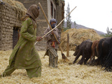 Women with Yaks Threshing Barley on the Road from Leh to Kargil