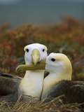 Waved Albatross (Diomedea Irrorata)  Punta Cevallos  Espanola Island  Galapagos Islands  Ecuador