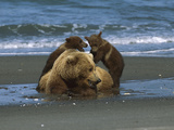 Alaskan Brown or Grizzly Bear (Ursus Arctos) Sow and Cubs on Shore  Katmai Nat'l Park  Alaska