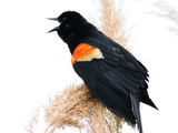 A Male Red-Winged Blackbird Calls Out and Defends its Nearby Nest