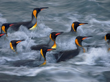 King Penguins Rinse in the Surf Zone of Gold Harbor