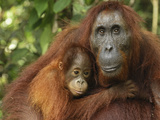 Orangutan (Pongo Pygmaeus) Female and Baby  Camp Leaky  Tanjung Puting Nat&#39;l Park  Indonesia