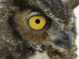 Great Horned Owl (Bubo Virginianus) Detail of Eye  North America
