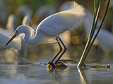Snowy Egret (Egretta Thula) Fishing  North America