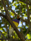 Captive Endangered Lady Gouldian Finch  Erythrura Gouldiae  Perching