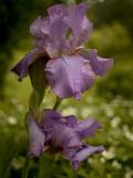 A Bearded Iris after a Spring Rain Shower