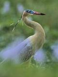Whistling Heron (Syrigma Sibilatrix)  Southern Pantanal  Brazil