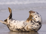 Grey Seal (Halichoerus Grypus) Scratching on Beach  North Sea  Helgoland  Germany