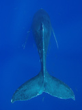 Humpback Whale (Megaptera Novaeangliae)  Nat'l Marine Sanctuary (Photo Obtained under NMFS Permit)