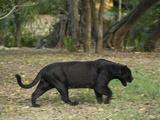 Captive Black Jaguar  Panthera Onca  Roaming in an Outdoor Enclosure