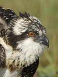 Osprey (Pandion Haliaetus) Portrait  Moschelle  Annapolis Valley  Nova Scotia  Canada