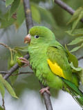 Yellow-Chevroned Parakeet (Brotogeris Chiriri)  Pantanal  Brazil