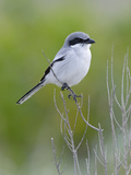Loggerhead Shrike (Lanius Ludovicianus)  Fort Desoto Park  Florida