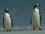 Gentoo Penguin (Pygoscelis Papua) Pair on Beach  Falkland Islands