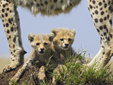 Cheetah (Acinonyx Jubatus) Eight Week Old Cubs under Mother  Maasai Mara Reserve  Kenya