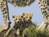 Cheetah (Acinonyx Jubatus) Eight Week Old Cubs under Mother  Maasai Mara Reserve  Kenya