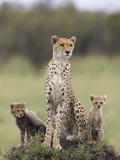 Cheetah (Acinonyx Jubatus) Mother and Eight to Nine Week Old Cubs  Maasai Mara Reserve  Kenya