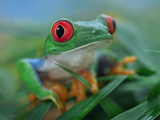 Red-Eyed Tree Frog (Agalychnis Callidryas)  Costa Rica