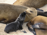 California Sea Lion (Zalophus Californianus) Mother and Pup  Channel Islands Nat'l Park  California
