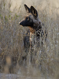 African Wild Dog (Lycaon Pictus) in Tall Grass  Okavango Delta  Botswana