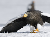 Steller's Sea Eagle (HaliaeetusPelagicus) Walking over Snow in Agressive Posture  Kamchatka  Russia
