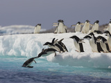 Adelie Penguin (Pygoscelis Adeliae) Jumping Off Iceberg into Icy Water  Paulet Island  Antarctica