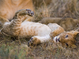 African Lion (Panthera Leo) Playful Cub Sprawling on Back  Masai Mara Nat'l Reserve  Kenya