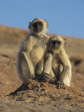 Hanuman Langur (Presbytis Entellus) Pair of Juveniles  India