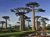 Grandidier's Baobab (Adansonia Grandidieri) Forest Near Morondava  Madagascar