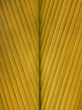 Palm Leaf Showing Midrib and Veination  Yavari River  Amazon Basin  Peru
