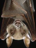 Buettikofer's Epauletted Bat (Epomops Buettikoferi) Close Up of Face