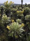 Frailejones (Espeletia Sp) Flowering  Purace Nat'l Park  Colombia