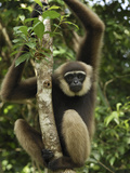Agile Gibbon (HylobatesAgilis) in Rainforest Tree  Camp Leaky  Tanjung Puting Nat'l Park  Indonesia