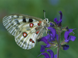 Mountain Apollo (Parnassius Apollo) on Flower  Switzerland