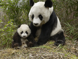 Giant Panda (Ailuropoda Melanoleuca) Mother and Her Cub  Wolong Nature Reserve  China