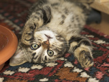 Domestic Cat (Felis Catus) Kitten Playing Inside  Europe