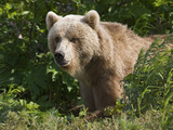 Brown Bear (Ursus Arctos) Portrait  Kamchatka  Russia