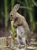 European Rabbit (Oryctolagus Cuniculus) Feeding on Corn Stalk  Germany