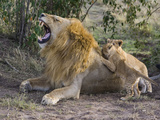 African Lion (Panthera Leo) Cubs Playing with Adult Male  Masai Mara Nat'l Reserve  Kenya