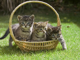 Domestic Cat (Felis Catus) Three Kittens in a Basket  Germany