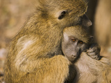 Chacma Baboon (Papio Ursinus) Juveniles in Each Other&#39;s Arms  Africa