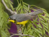 Canada Warbler (Wilsonia Canadensis) Male Perched on Branch  Rio Grande Valley  Texas