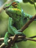 Panther Chameleon (Chamaeleo Pardalis) Male  Lokobe Nature Special Reserve  Madagascar