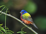 Painted Bunting (Passerina Ciris) Perching  Texas