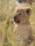 African Lion (Panthera Leo) Five to Six Week Old Cub  Vulnerable  Masai Mara Nat'l Reserve  Kenya